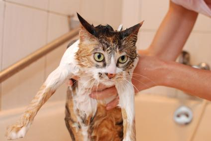 How To Get Rid Of Cat Dandruff In Your House