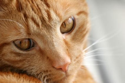 Ginger colored cat