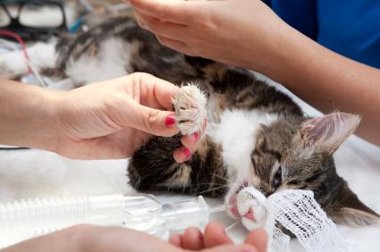 Cat being prepped for surgery