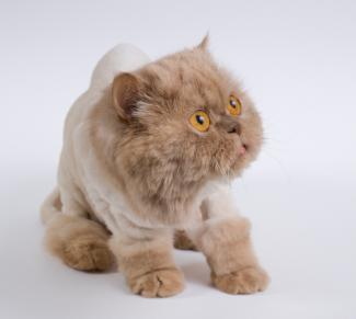 Persian Cat Lion Cut