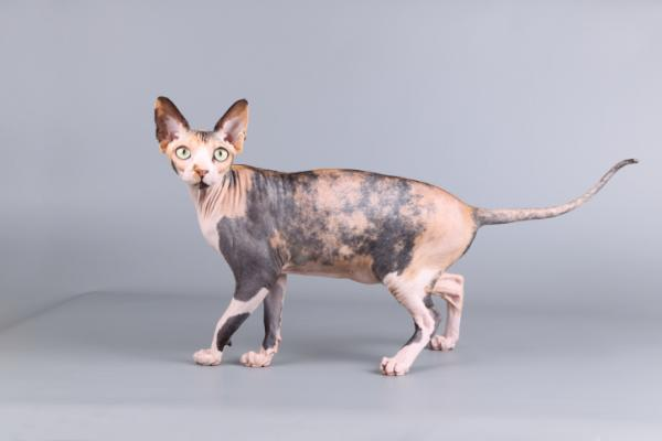 hairless canadian sphynx cat