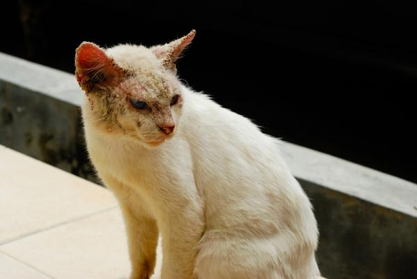 cat with skin condition