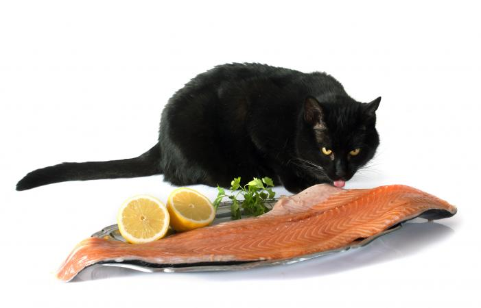 Cat and salmon