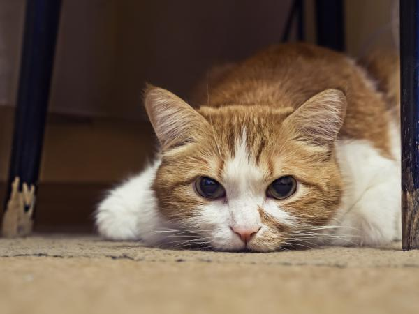 Ear Mites In Cats And Lameness