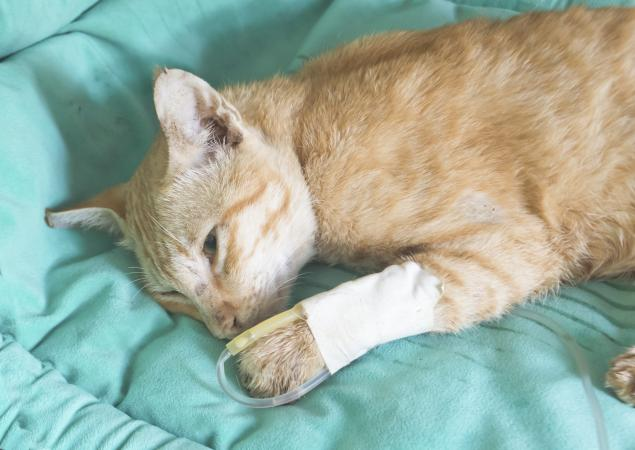 Cat with IV
