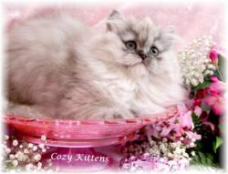 Munchkin Cat For Sale Olx