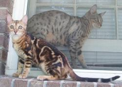 Marbled and Spotted Bengals; Image used with permission from Alisa Coffey.