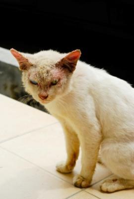 Feline mange is a skin disease that cats get it is easily spread from