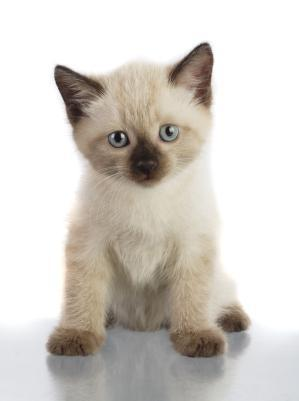 Siamese Kittens for Adoption