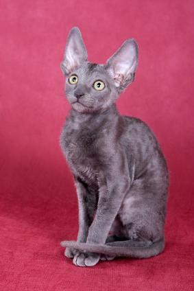 Cornish Rex cat - a low shedder