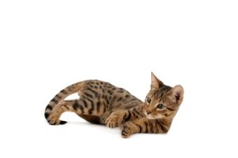 The Serengeti is a rare cat breed.