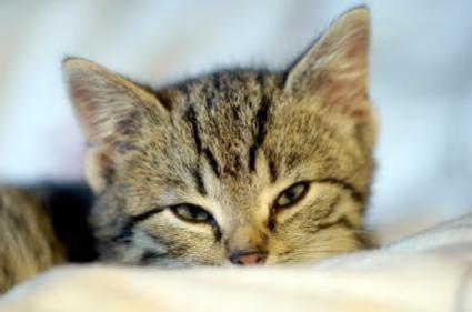 beanie boo cat