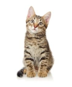 Tiger-striped kitten