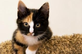 Average life expectancy of domestic shorthair cat