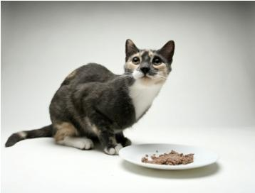 Calico with dish of food