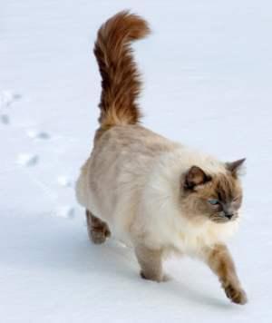 Ragdoll cat walking in snow