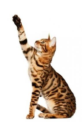 Playful Bengal cat