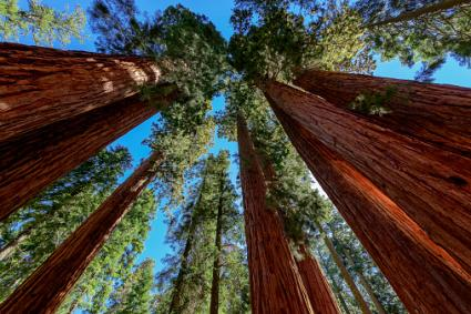 Giant sequoia trees