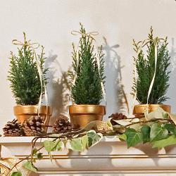Rosemary topiaries