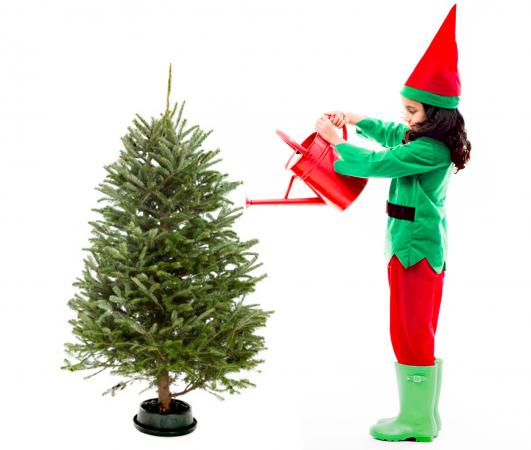 Watering Christmas tree with sugar water