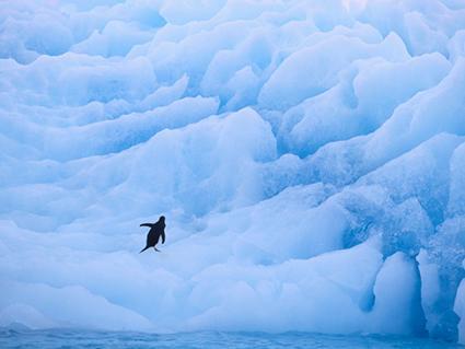 Glacial Penguin