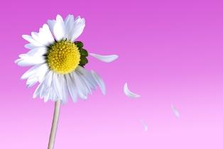 Finding out if he loves you with a daisy