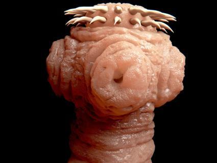 Head of a tapeworm