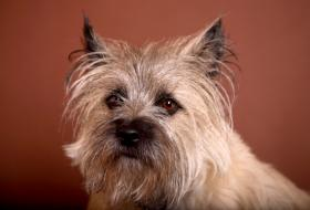 grooming a cairn terrier