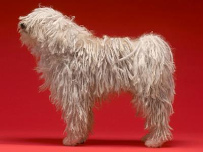 Purebred dog