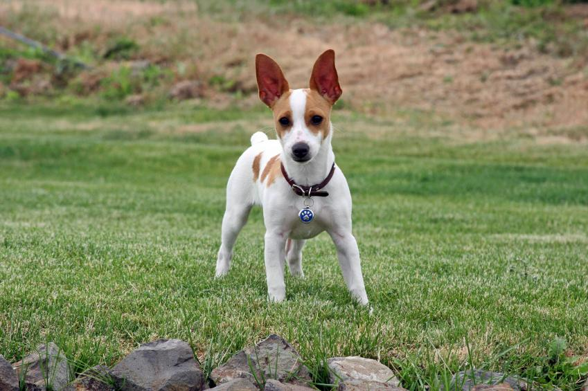 Rat Terrier Dog Pictures [Slideshow]
