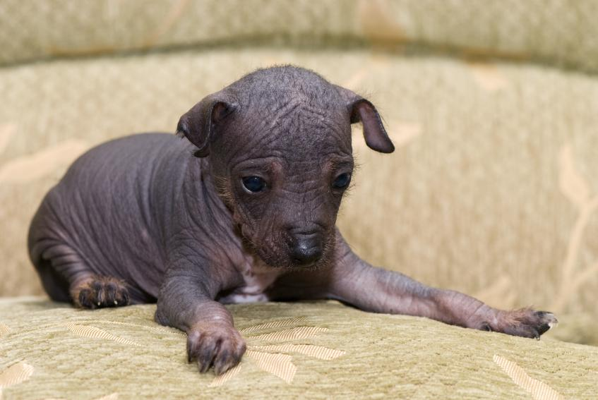 Chinese Crested Puppies [Slideshow]