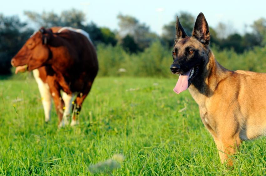 Black Belgian Malinois Dog Breed