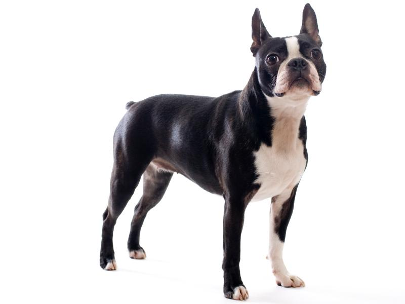 boston terrier boston terriers are known for their ability to