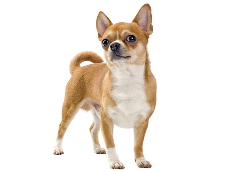 R Chihuahuas Smart Small Dog Breed Pictur...