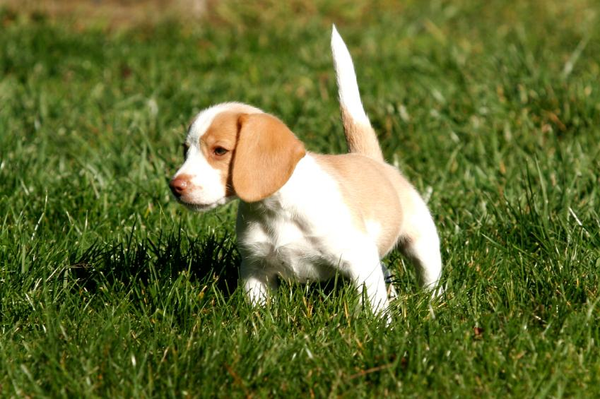 Beagle Puppy Pictures