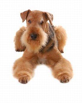 Small Medium Dog Breeds