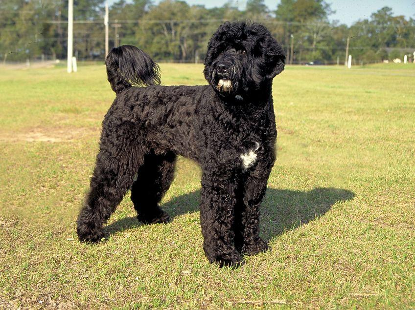 Pictures of Portuguese Water Dogs [Slideshow]