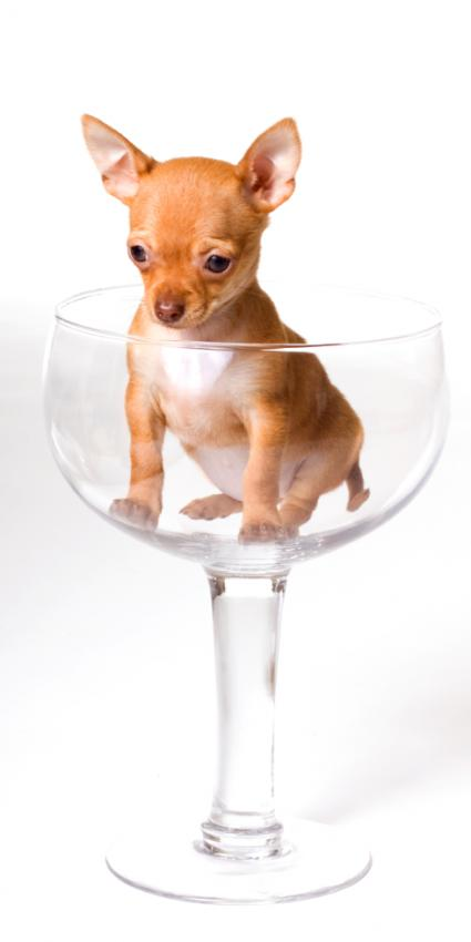 Miniature Teacup Chihuahuas [Slideshow]
