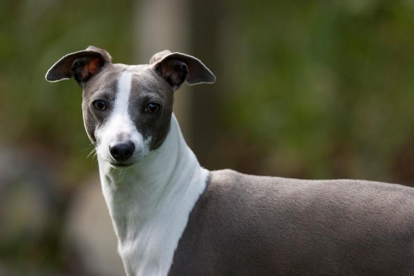 italian greyhound although often referred to as a miniature greyhound ...
