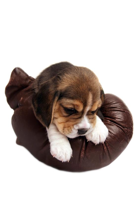 Beagle Puppy Looking Guilty - A Cute A Day