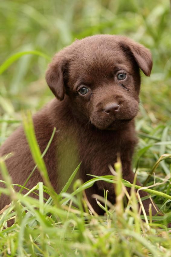 chocolate lab puppy names slideshow. Black Bedroom Furniture Sets. Home Design Ideas