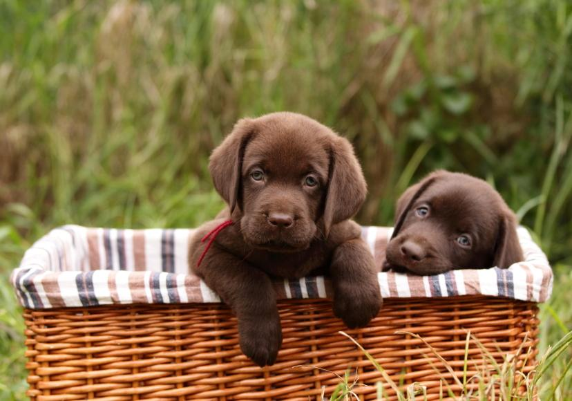 cute chocolate labrador retriever - photo #4