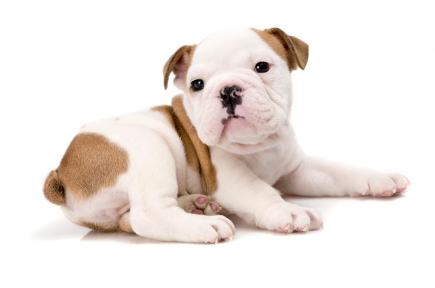 Baby Bulldogs Wallpaper Collection of puppy wallpapers