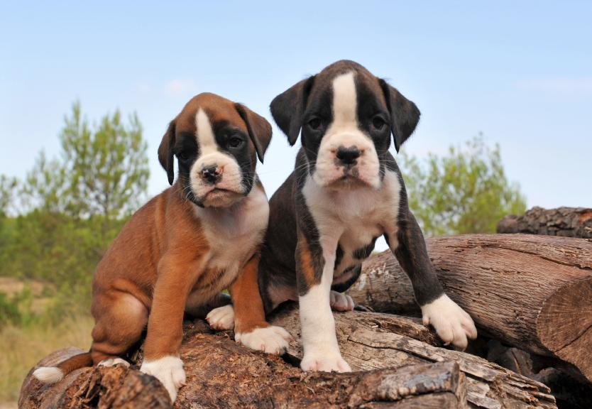 Cute Boxer Puppies Wallpaper Boxer Puppies
