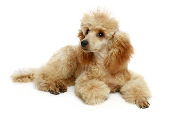 Pudelj 90478-600x399-Apricot_Poodle_pup
