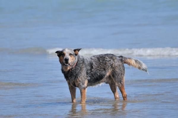 dog-breeds - A - Australian Cattle Dog - Page 60