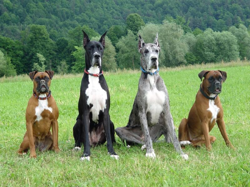 Group of large dogs