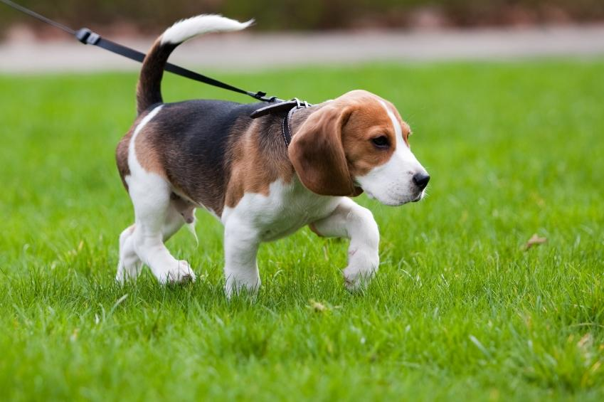 Housebreaking tips for puppies slideshow for Puppy dog walker