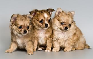 Litter of cute Chihuahua pups