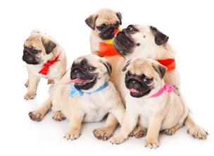 Momma Pug and litter